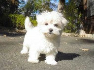 Maltese puppies and dogs for sale