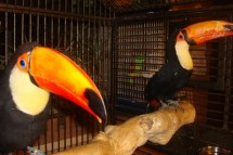 Beautiful Toucan Pair with Large Cage  $12000