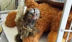Pygmy marmoset monkeys