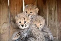 buy cheetah and tiger cubs
