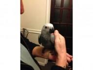 Super adorable African Grey Parrots